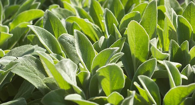 lambsear plant